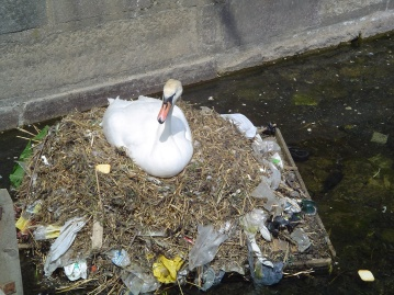Swan Pollution Wikipedia.jpg